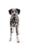 Attentive Dalmatian Dog Standing Royalty Free Stock Photo