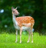 Attentive deer (doe) Royalty Free Stock Images
