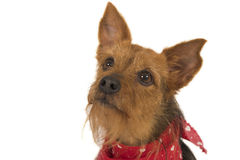 Attentive dog. Attentive small dog isolated over white Royalty Free Stock Photography