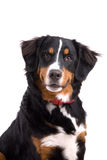 Attentive dog. Cute Bernese Mountain Dog sitting attentive on white background Royalty Free Stock Images