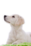 Attentive dog Royalty Free Stock Photos