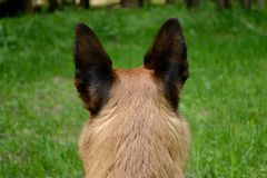 Attentive dog from behind - portrait. Dog with standing ears from behind - close-up attentive dog Royalty Free Stock Image