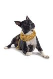 Attentive dog in gold collar Stock Photography