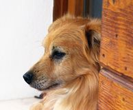 Attentive dog. Profile of attentive dog guarding house from the window sill Stock Photography