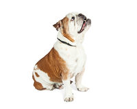 Attentive Dog Sitting Side Looking Up Stock Images