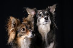 Attentive Dogs Stock Image