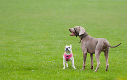 Attentive Dogs on Green Grass. Two attentive dogs a Weimaraner and French Bulldog standing on the green grass Royalty Free Stock Image