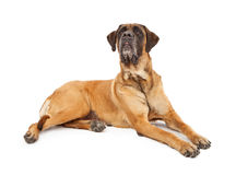 Attentive English Mastiff Dog. A large English Mastiff Dog laying against a with background with a very attentive expression Royalty Free Stock Photography