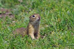 European ground squirrel. Green grass background