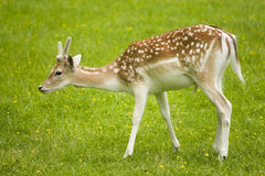 Attentive fallow deer royalty free stock photos