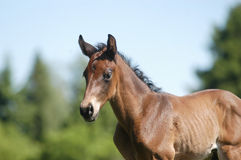 Attentive foal. A warm-blooded foal staying on a paddock Stock Images