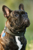 Attentive Frenchy. Close-up of a attentive young French bulldog Royalty Free Stock Photo