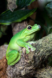 Attentive frog Royalty Free Stock Image