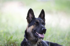 Attentive German shepard dog Royalty Free Stock Images