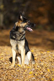 Attentive german shepard dog portrait with autumn colored background Royalty Free Stock Photography
