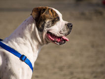Attentive Glance. Dog's face close up on the beach Stock Image