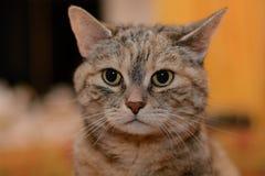 Attentive gray cat portrait Stock Photos