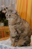 Attentive gray domestic cat sideways Stock Images