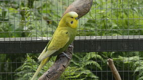 Attentive green and yellow budgie stock footage