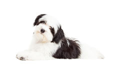 Attentive Havanese Dog Laying Stock Image