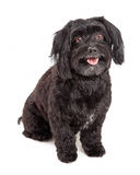 Attentive Havanese Dog Sitting With Mouth Open Stock Images