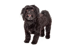 Attentive Havanese Dog Standing With Mouth Open Stock Images