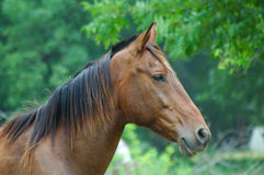 Attentive horse. Very attentive brown horse with black maine royalty free stock images