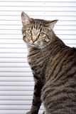 Attentive House Cat. Sitting in Front of Window Blinds stock photography