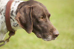 Attentive hunting dog Stock Photos