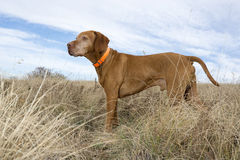 Attentive hunting dog standing in field Stock Photography