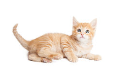 Attentive kitten laying on side over white Royalty Free Stock Images