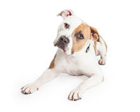 Attentive Large Beautiful Pit Bull Dog. Beautiful tan and white color American Staffordshire Terrier Pit Bull dog laying down and tilting head while looking into Stock Image