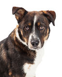 Attentive Large Dog Staring Into Camera Stock Photography