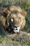 Attentive Lion Botswana Tom Wurl Stock Photo