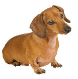 Attentive Little Dachshund. A cute miniature dachshund with a white background watching attentively Royalty Free Stock Photography
