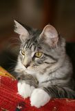 Attentive look. Beautiful cat lying with an attentive look on it's face Royalty Free Stock Photo