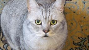 Attentive look of the  British cat. Attentive look of the gray British cat n royalty free stock photography