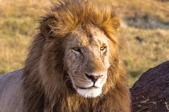 Attentive look of the lion. Masai Mara, Kenya. Africa stock image