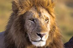 Attentive look of the owner of the savannah. Masai Mara, Kenya. Africa stock photo
