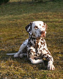 Attentive lying male Dalmatian Stock Images