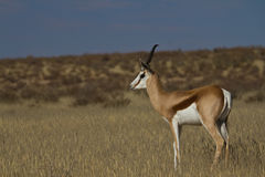 Attentive. Male Springbuck standing guard in the Kgalagadi Transfrontier Park Royalty Free Stock Photo