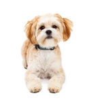 Attentive Maltese Mix Breed Dog Laying. With outstretched legs while looking into the camera Stock Images
