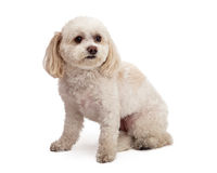 Attentive Maltese And Poodle Mix Breed Dog Sitting. An attentive Maltese And Poodle Mix Breed Dog sitting while looking off to the side Royalty Free Stock Image