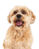 Attentive Maltese and Poodle Mix Dog Closeup. A headshot of a very attentive Maltese and Poodle Mix Dog Royalty Free Stock Image