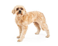 Attentive Maltese and Poodle Mix Dog Standing Stock Images