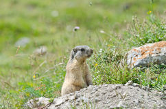 Attentive marmot. Wild marmot stands guard in the mountains Stock Photography