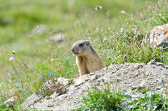 Attentive marmot. Wild marmot stands guard in the mountains Stock Photos