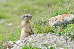 Attentive marmot. Wild marmot stands guard in the mountains Royalty Free Stock Photos
