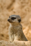 The attentive meerkat Stock Photo