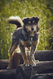 Attentive miserable dog. Curious attentive miserable dog chained on a pile of wood in the backyard royalty free stock photo